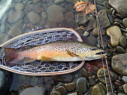 Brown Trout 3-UM-S