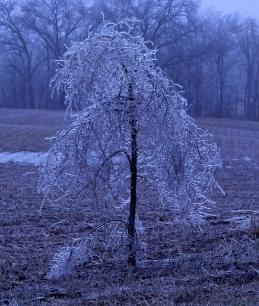 Ice Tree-S-75-bnc-IMG_1888